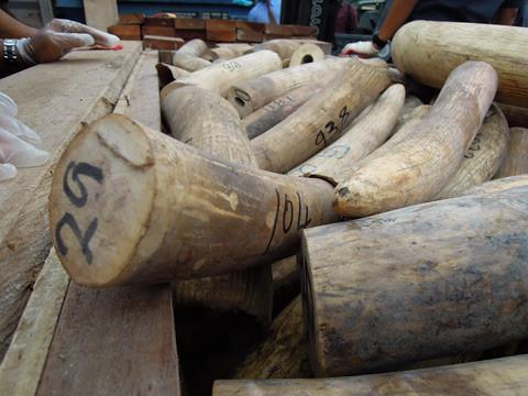 從2009年來,運往亞洲的大規模獵捕象牙(超過800公斤)數已超過2倍,且在2011年達到歷史新高。圖為2012年底在馬來西亞巴生港查獲大量的走私象牙。(Elizabeth John 攝 / TRAFFIC 提供)