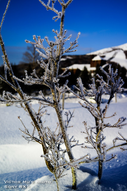 北海道 星野度假村 隔一個晚上樹都結霜了