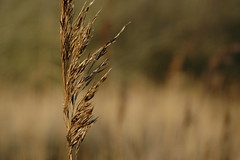 agriculture, food grain, grass, plant, nature, macro photography, flora, phragmites, close-up, cereal, plant stem,