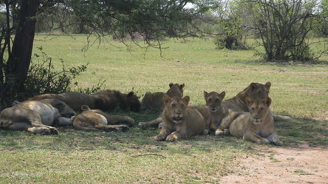 Lions under a tree