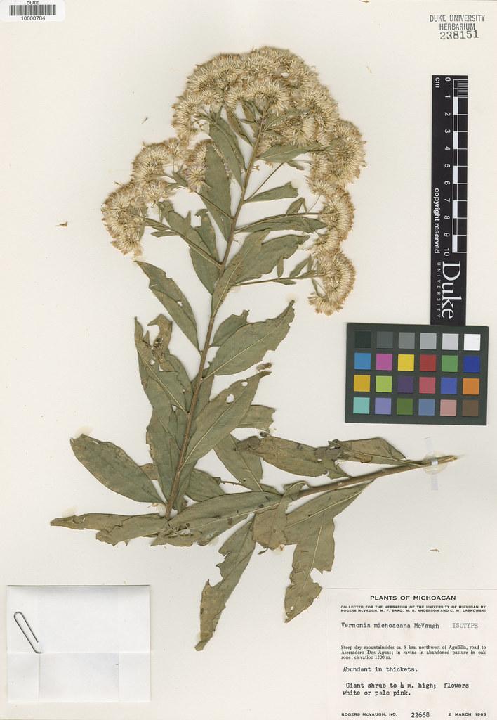 Asteraceae_Vernonia michoacana