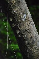 Rhynchonycteris naso DT [K Cuyabeno] 1312(1)
