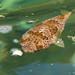 Pufferfish sp.