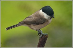 Willow Tit, Bridgnorth, Nov 2012 UK