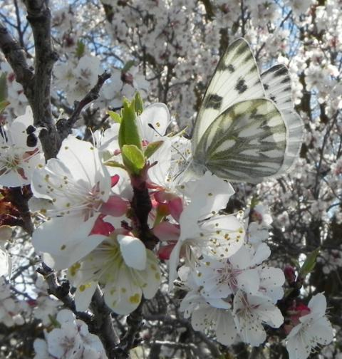 White butterfly on apricot blossom by Tom Young, Dietrich, idaho, USA