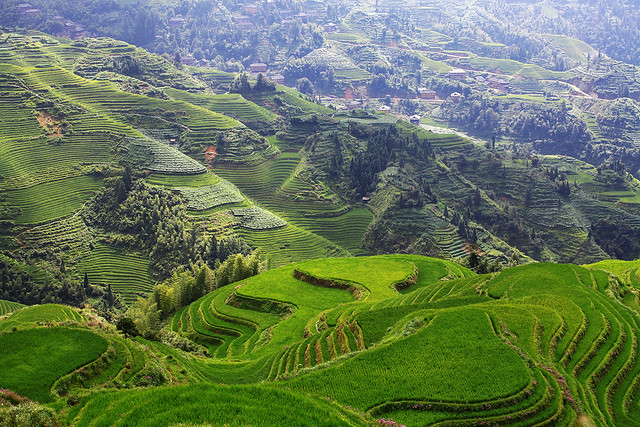 The Dragon's Backbone Rice Terraces in Dazhai, China.