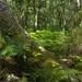 Sous-bois estival, forêt des Quinconces, Andernos-les-Bains, Gironde, Aquitaine, France. ©byb64