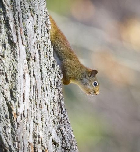 Red Tree Squirrel by Ricky L. Jones Photography