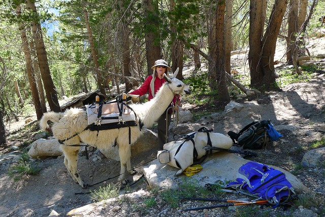 Llamas on the Trail - Personal Sherpas!