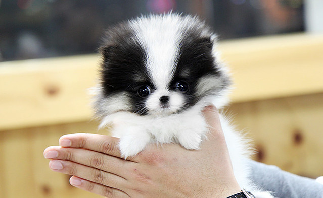 High quality tri coat teacup pomeranian puppy | Flickr - Photo Sharing ...