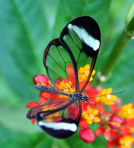 transparent-wings-butterfly
