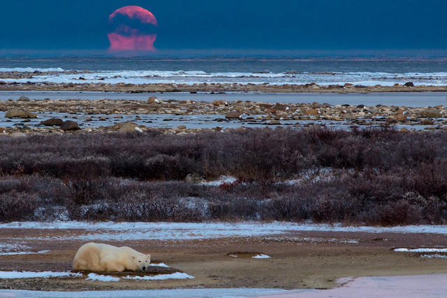Setting Moon and Polar Bear in Churchill