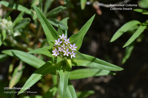 Narrowleaf Collomia - Collomia linearis by USWildflowers, on Flickr