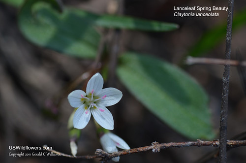 Lanceleaf Spring Beauty - Claytonia lanceolata by USWildflowers, on Flickr