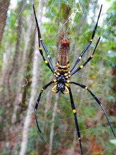 Spider, Dubuji Boardwalk