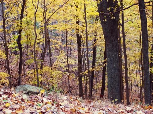 autumn trees nature yellow landscape olympus shenandoahnationalpark xz1 olympusxz1
