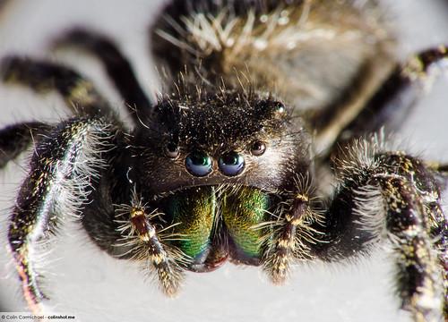 Phidippus audax - Daring Jumping Spider