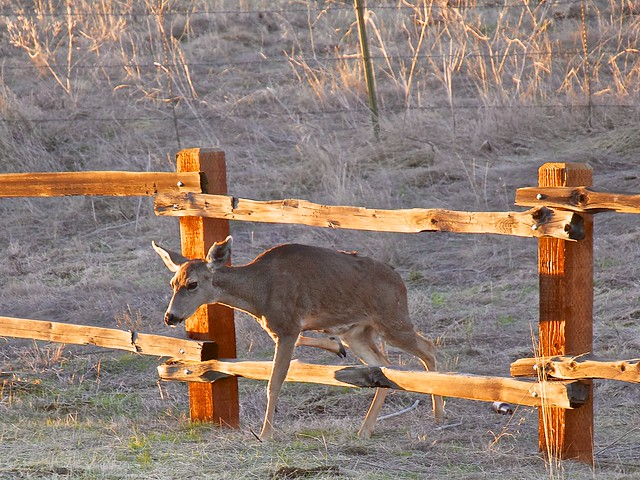 Deer Crossing Through The Fence Flickr Photo Sharing