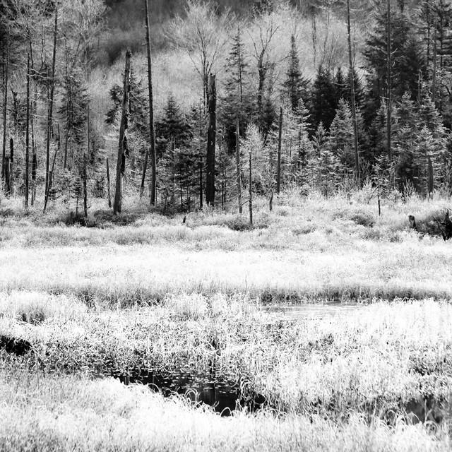 Marais peint de blanc... forêt dénudée... je suis devenu noir et blanc...!!!