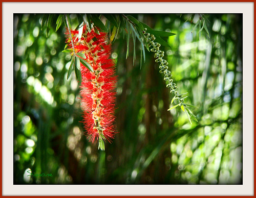 flower macro tree green happy sunny frame southflorida 20120329southflorida bottlebrushflowertree