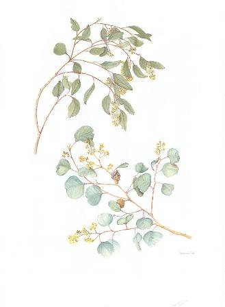 Marie Van Lint Eucalyptus