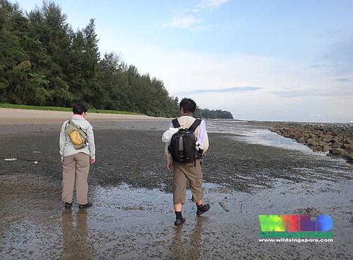 Oil-slicked Tanah Merah: Ribbon seagrass (Cymodocea rotundata)