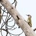 Peto verde - Picus viridis - European Green Woodpecker