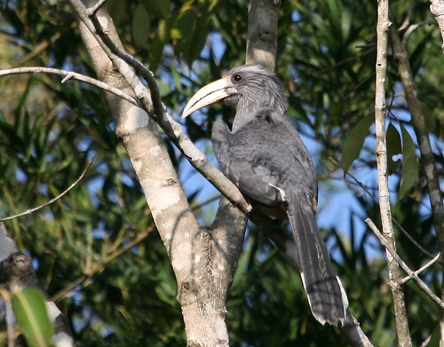Malabar gray hornbill, near Masinagudi, India 11/18/12