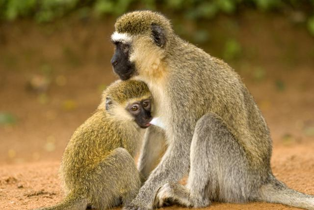 Monkey mother with Baby eating by sarit saliman, Uganda, Africa