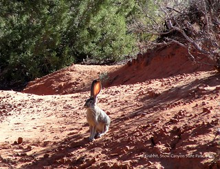 03 March - Jackrabbit in Snow Canyon State Park, Utah