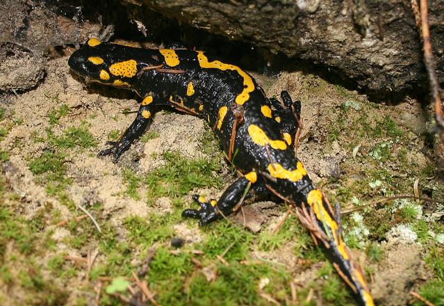Fire Salamander - Transylvania