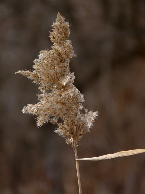 Phragmites australis | Flickr - Photo Sharing!
