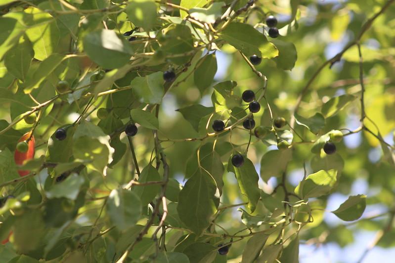 樟樹果實  Cinnamomum camphora   IMG_7901