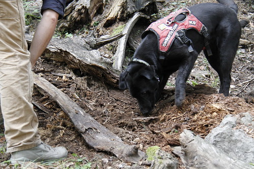 Meet Sampson, a Labrador rescued from the Seattle Humane Society who climbed the Jemez Mountains, clambering over rocks to track rare salamanders. Photo Credit: Mark L. Watson New Mexico Dept. of Game and Fish.
