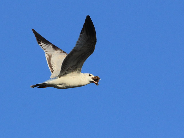Ring-billed Gull carrying object 20121213