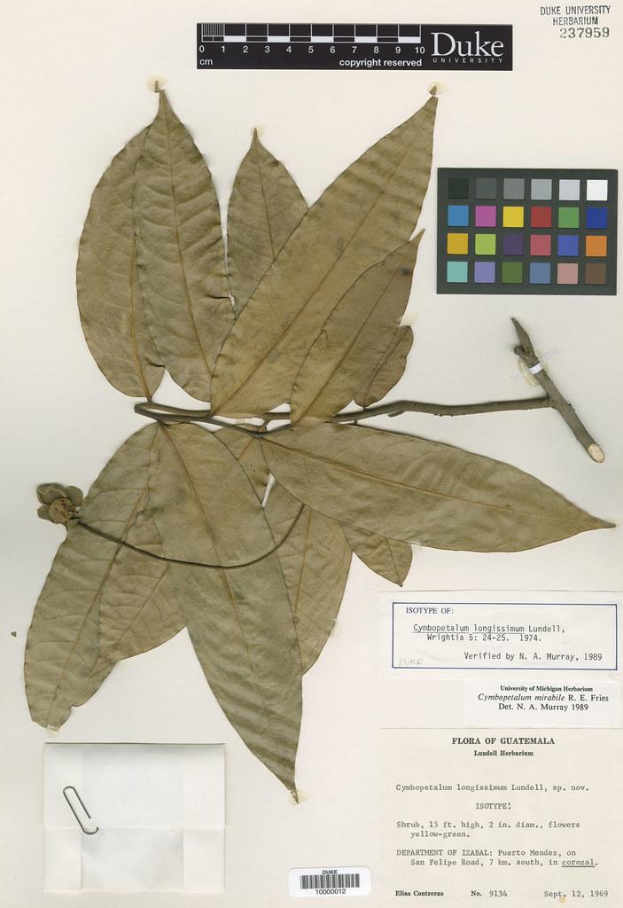 Annonaceae_Cymbopetalum longissimum