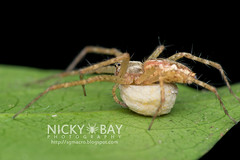 Nursery Web Spider (Sphedanus sp.) - DSC_1474