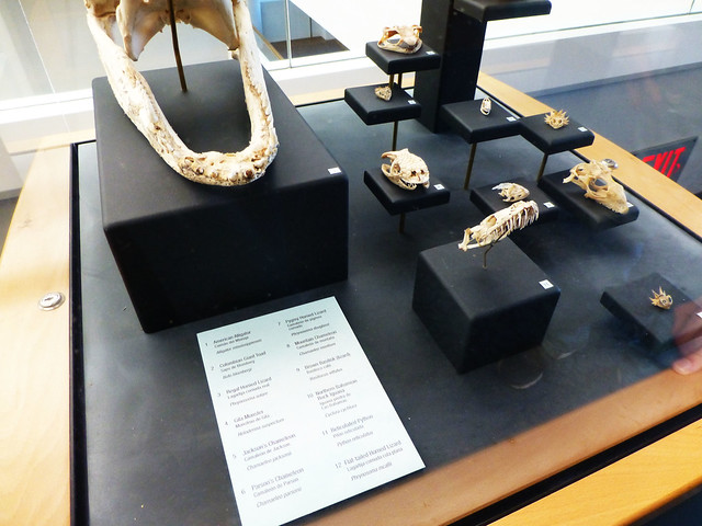 Basilisk skull