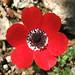 Anemone coronaria (Geoff Carr)