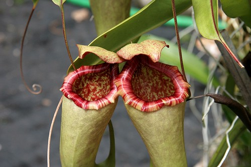 Leilani Nepenthes