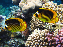 Yellow and Black Butterfly Fish in Egypt 2012 2