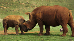 [Free Images] Animals 1, Mammals, Rhinoceros, Animals - Parent and Child ID:201211101000