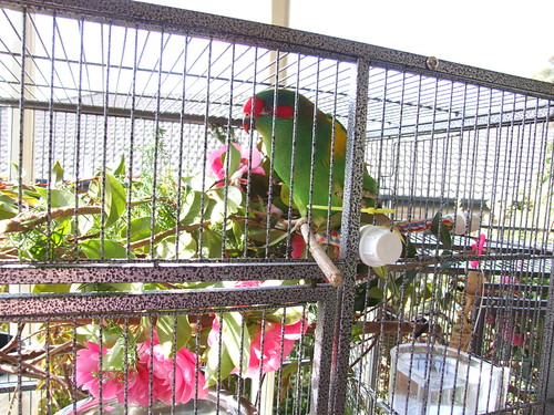 Otto - Male musk lorikeet