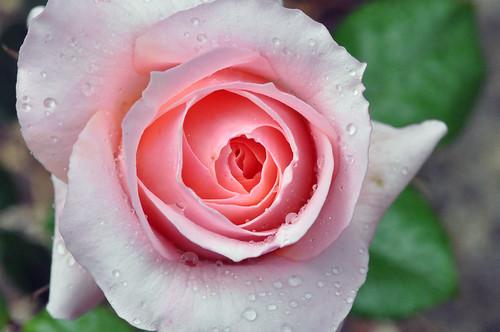 Betty Cuthbert Rose