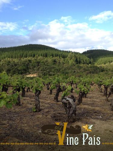 Old Vine País