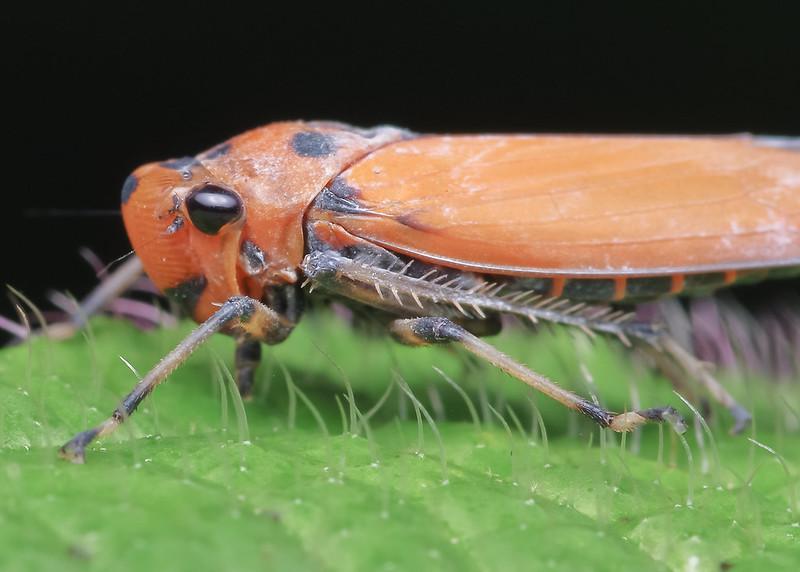 [IMGP0481-pp] Leafhopper
