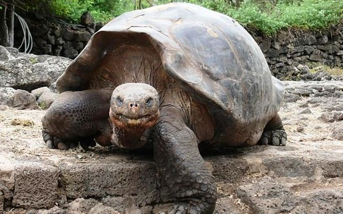 giant tortoise, Galapagos (courtesy of Prince's Foundation)