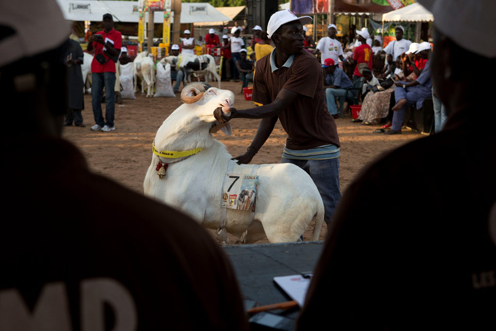 Senegal Sheep Beauty Show