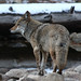 Small photo of Yosemite Coyote