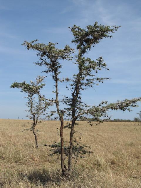 Whistling Thorn Acacia Tree Flickr Photo Sharing